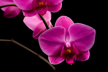 Closeup of Orchidea Phalaenopsis
