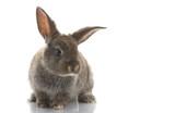 Fototapety Grey Rabbit