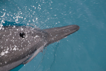 Spinner Dolphin Takes a Breath 2