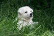 Mignon petit Berger Blanc dans l'herbe verte