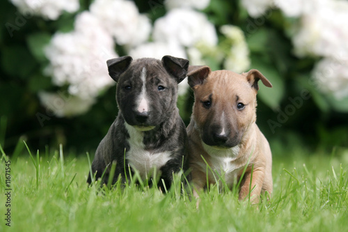 Deux adorables Bull Terrier miniatures de face