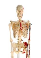 Skeleton breadboard model