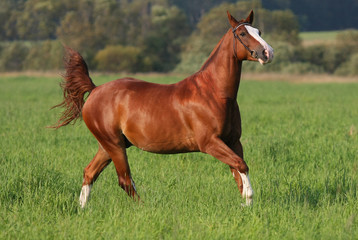 Chestnut horse on field