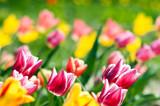 Fototapeta .spring tulip meadow