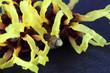 Hamamelis molis
