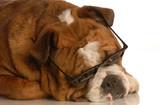 red brindle english bulldog wearing glasses poster