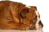 red brindle english bulldog laying down looking upwards poster
