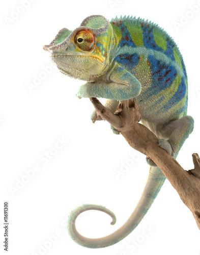 Staande foto Kameleon Ambanja Panther Chameleon
