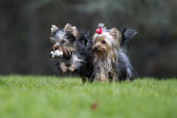 deux yorkshire terriers en course,avec objet dans la gueule