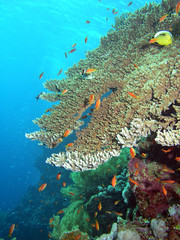 Photo of coral colony, Red sea