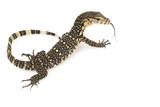 Asian Water Monitor Lizard (Varanus salvator) poster