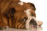 red brindle english bulldog with pouting sad expression poster