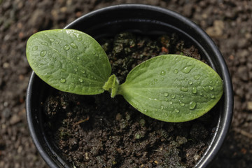 Vegetable seedling in pot
