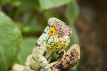 Parson's Chameleon (Chamaeleo parsonii)