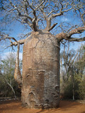 1000 year old Baobab tree