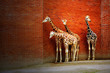 Obrazy na ścianę i fototapety : Four giraffes near the wall