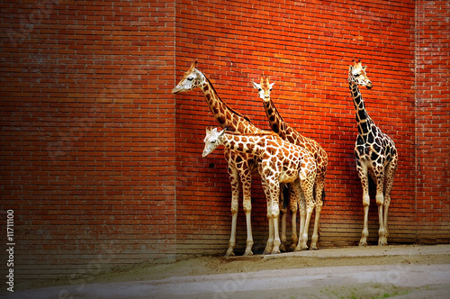 Fototapety, obrazy : Four giraffes near the wall