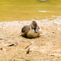 Sitting Duck Asleep