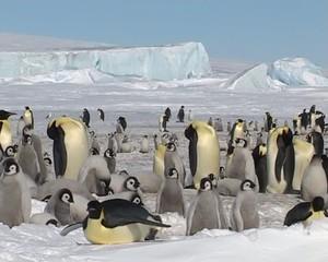 Antarctique, les manchots empereurs