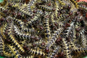 Cirina butyrospermii Caterpillar
