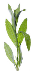 Tarragon Herbs Isolated