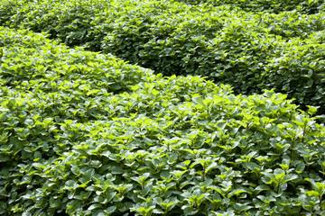 Field of Mint Leaves