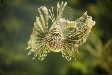 Lionfish 9518