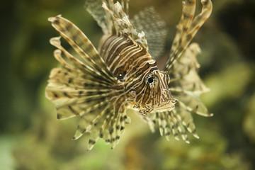 Lionfish 9535