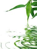 feuilles du bambou de la chance