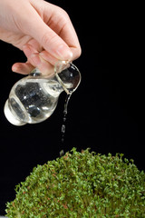 watering cress