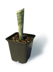 A dollar growing in a flowerpot
