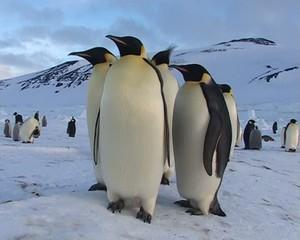 Banquise de Ross (Antarctique) les Empereurs
