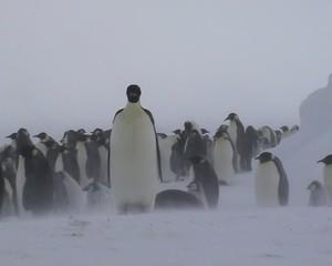 Vents cabatiques sur la colonie d'empereurs (Antarctique)