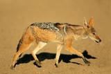 Black-backed Jackal (Canis mesomelas), Kalahari, South Africa poster