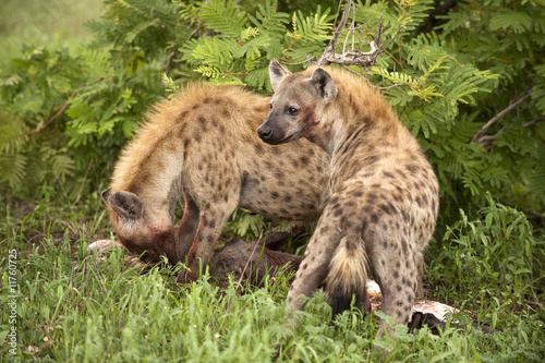 Papiers peints Hyène Two hungry hyenas are eating dead animal