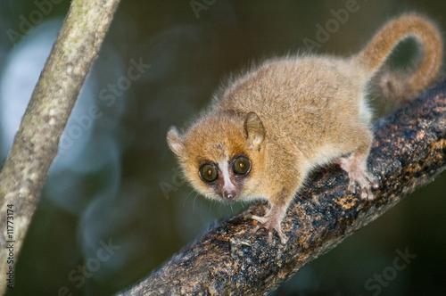 Foto op Canvas Aap Grey Mouse Lemur (microcebus murinus)