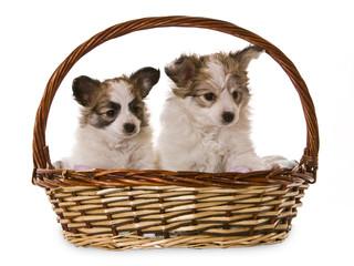 basket puppy's
