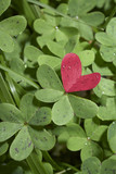 heart within field of green clover-