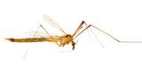 mosquito macro poster