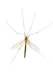 mosquito macro(2) poster