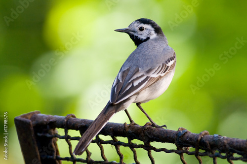 bird - white wagtail