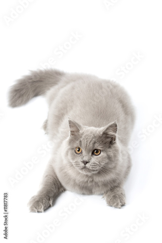 cute british kitten isolated