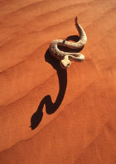 A sidewinder rattlesnake in the red desert
