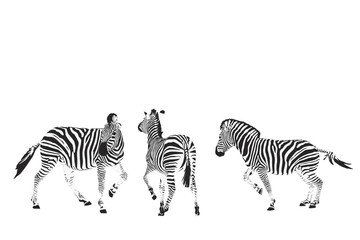 three zebras vector