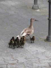 Entenfamilie auf einer Straße