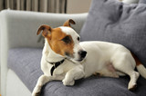 Jack Russel Terrier Relaxing On couch poster
