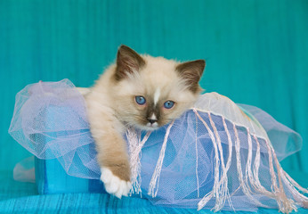 Pretty and cute Ragdoll kitten sitting in blue box green fabric