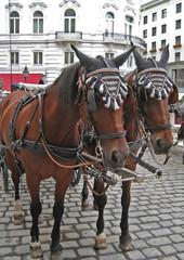 Chestnut horses pulling a carraige in the streets of Vienna