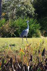 Florida Sandhill Cranes in Natural Environment