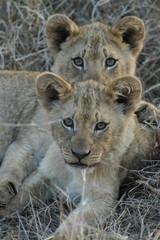 lionceau Afrique